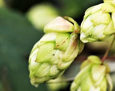 Filière brassicole