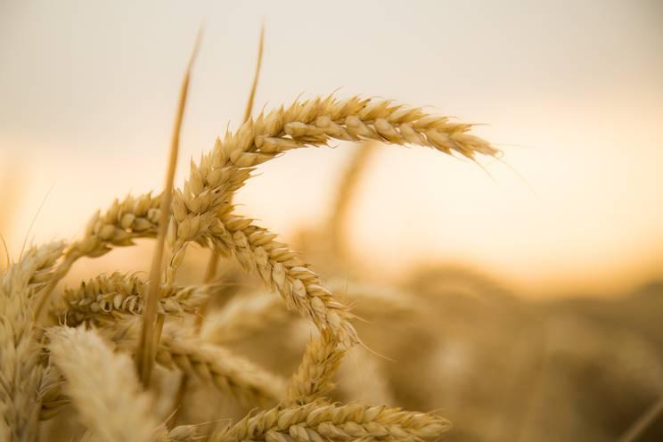 wheat-867608_1920.jpg